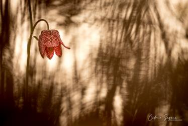 Fritillaire pintade (Fritillaria meleagris)